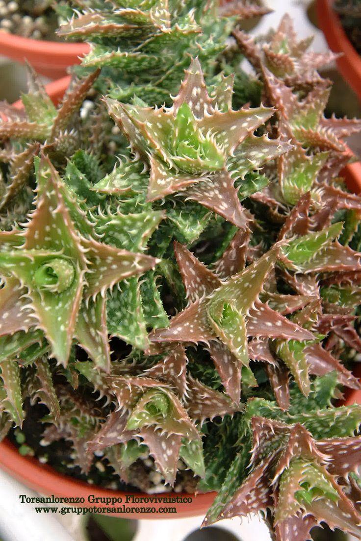 #Aloe #Nature #Leaves #Petals