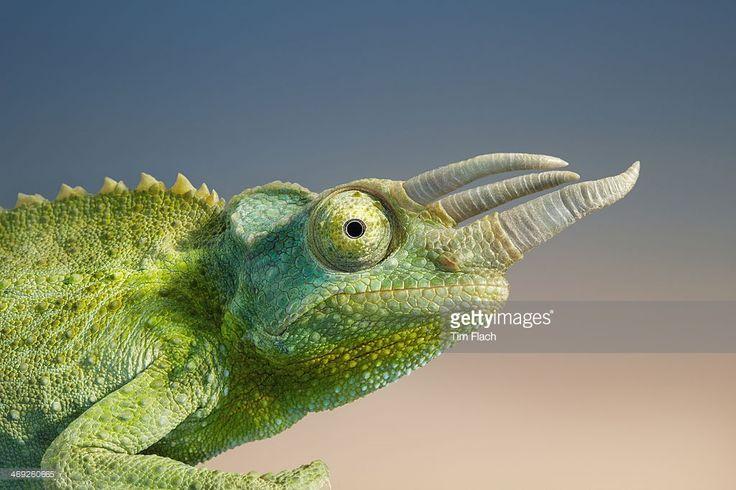 Profile of a Jackson's chameleon.