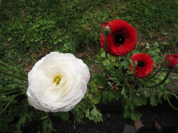 Ranunculus in quarantine.  No good for vege gardens (I now realise) because they are prone to powdery mildew.