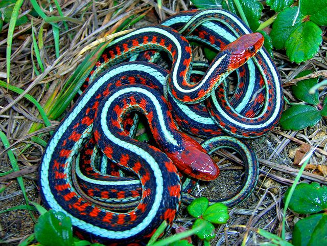 Mating. California Red-Sided Garter Snake, on wild strawberry leaves.