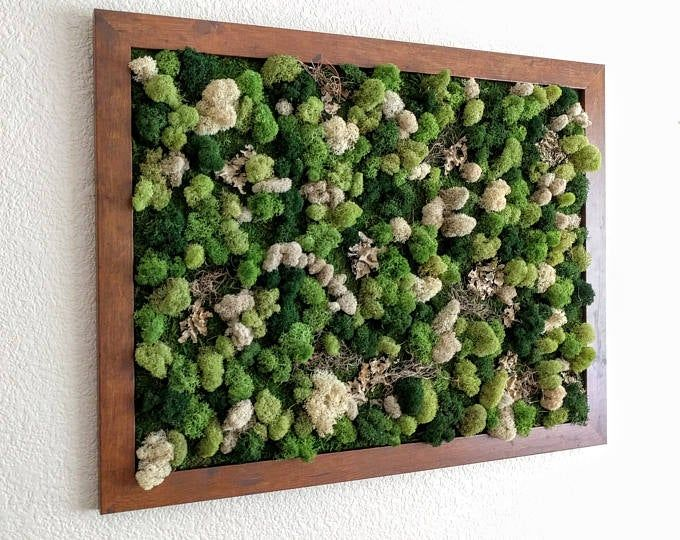 Framed Desktop Garden with Three Air Plants Reindeer Moss and Lichen 5x7 inches