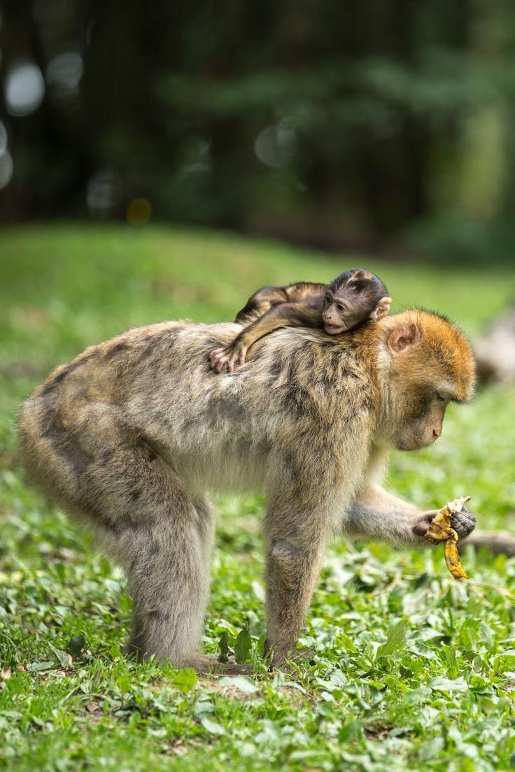 Black Baby Monkey on Top of Brown Monkey