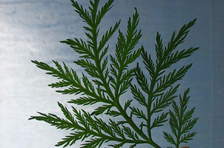 L'Artemisia annua : contre le palu... et le cancer