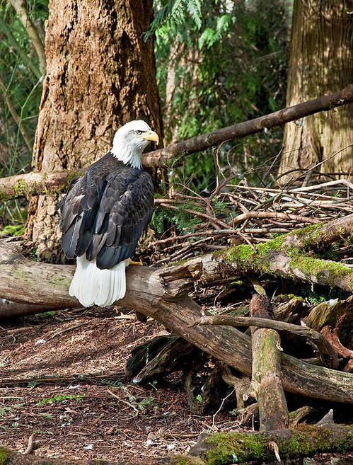 221 best images about the american bald eagle on pinterest god bless america bald eagle - Valerie garnering ...