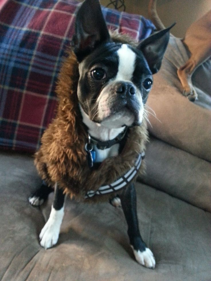 best 25 boston terrier costume ideas on pinterest boston terrier halloween dog halloween costumes and boston terrier pups