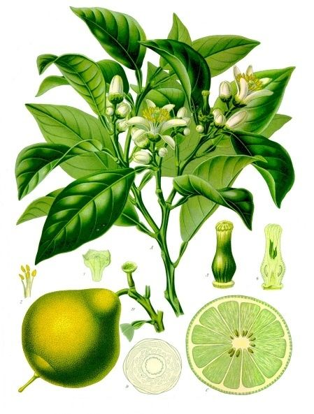 bergamot orange flower - Google Search