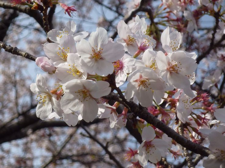 桜 Sakura 2016