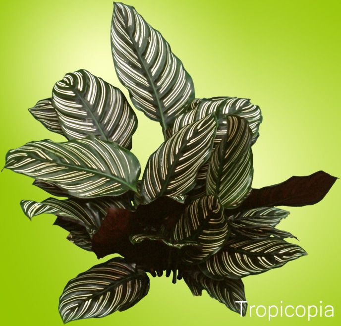 Pink and green striped Calathea Plant care and maintenance