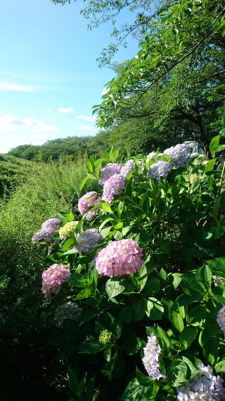 晴天紫陽花