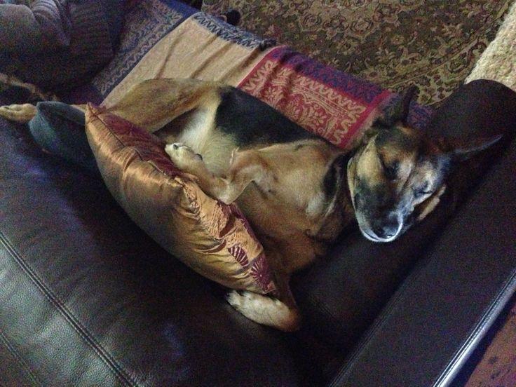 Dexter the German Shepherdx  after a hard day of ball. He isn't spoilt! Much!  GSDxDexter