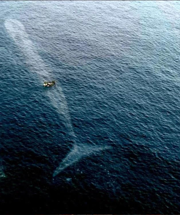 a study on the blue whale the largest mammal on earth The blue whale is the largest animal on earth, yet the breeding grounds of this  elusive creature have remained a mysteryuntil now scientists studying blue.