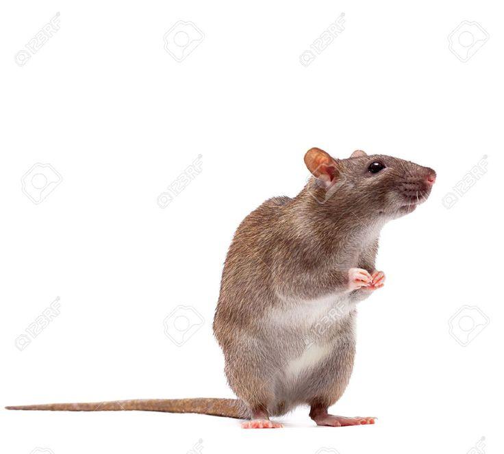 Rat anatomy pictures