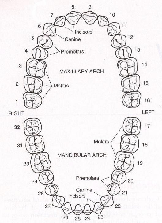 Мужчине, картинка схемы зубов
