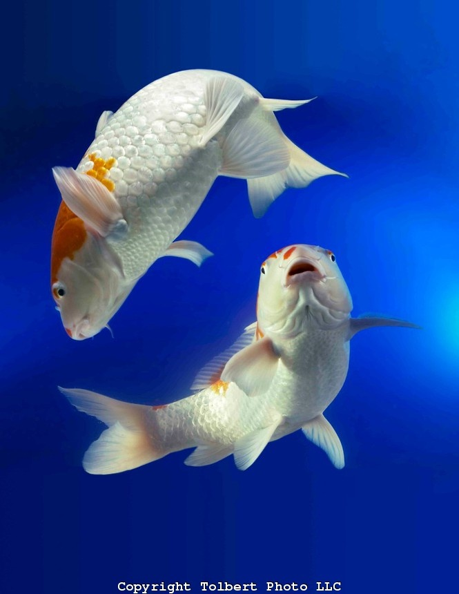 102 best images about something fishy on pinterest koi for What fish can live with goldfish in a pond