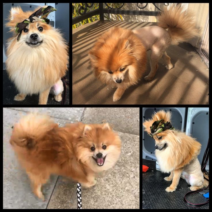 Haircuts For Pomeranians: 17 Best Ideas About Pomeranian Haircut On Pinterest