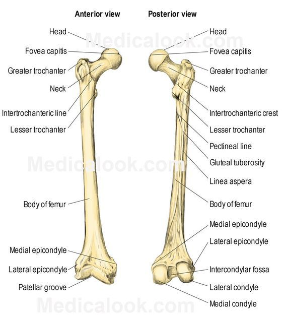 The Femur consists of four parts: the head, greater trochanter, lesser  trochanter,