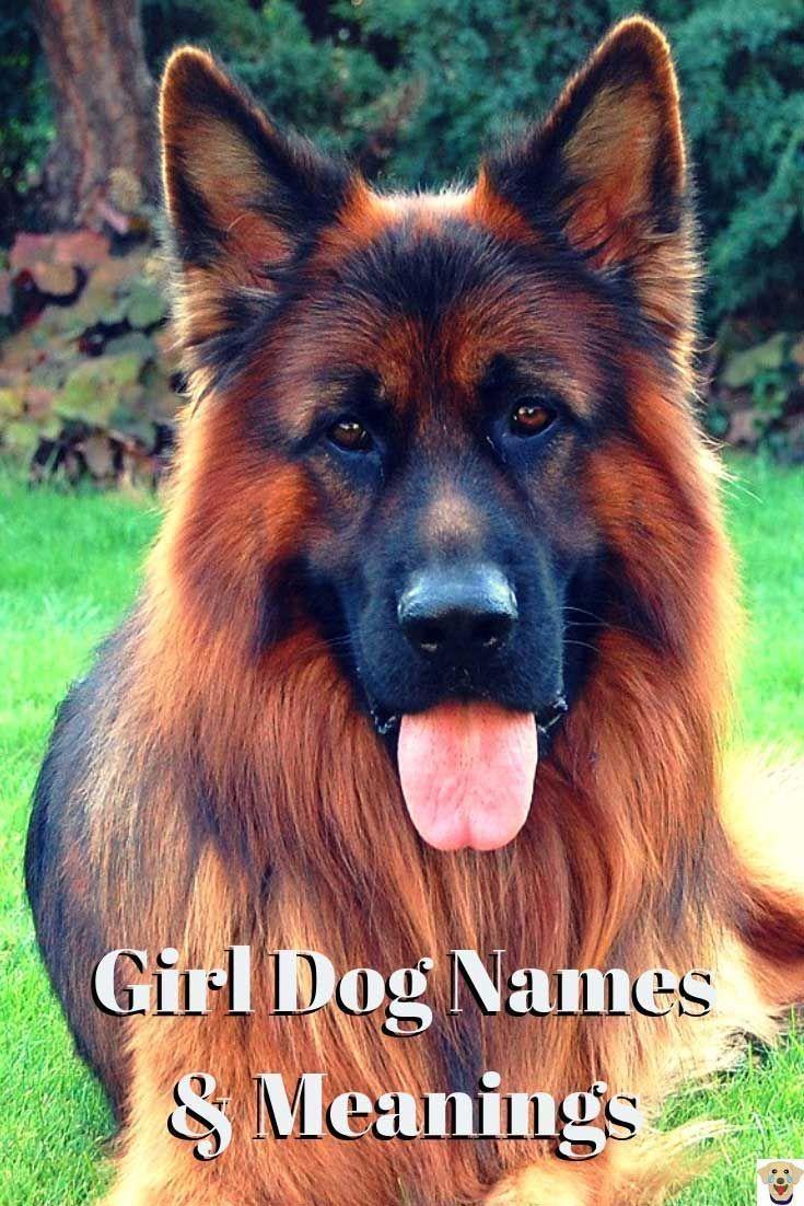 German Shepherd For Girl Dog Names And Meanings Barkinglaughs