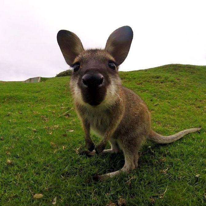 Kaikki tuntevat Australian kengurut, mutta kuinka monet tietävät vallabeista? Nämä ovat minikenguruita! Söpöysräjähdys! | Muuttolintu.com #matkustaminen #australia #loma #matkailu #reissu #reissaaminen #matka