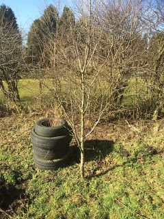 A late prune in the orchard