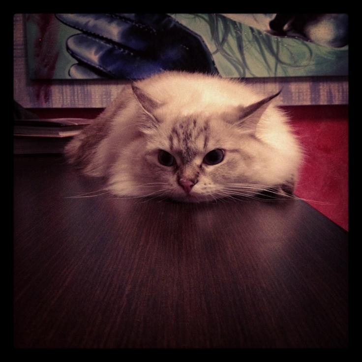 Molly... Again! ❤ #siberiancat