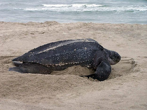 La Tortue luth (Dermochelys coriaceathe)  Plus grande espèce de tortue marine et peuplant tous les océans, la Tortue Luth voit sa population en déclin, celle du Pacifique étant considérée comme l'espèce de tortue marine la plus menacée.  Il ne resterait ainsi plus que 100 000 tortues luth dans le monde. Elles figurent sur la liste rouge de l'UICN en tant qu'espèce en « danger critique d'extinction » et font l'objet de plusieurs conventions internationales de protection et de conservation