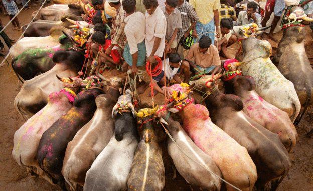 Image result for tamil jallikattu