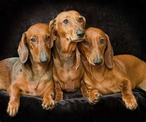 Dachshunds-Such Beauties!!