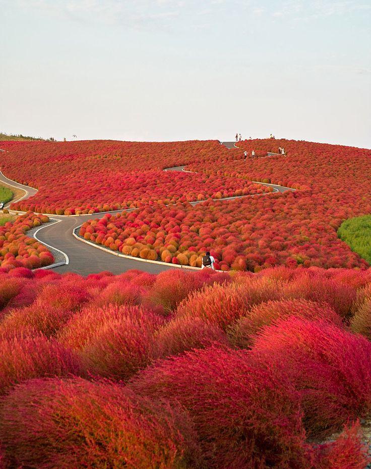"""Parque Hitachi Seaside (Japón) Literalmente traducido del japonés Hitachi significa """"amanecer"""". Está situado en la prefectura de Ibaraki en Honsyu.No hace mucho tiempo este sitio fue una base militar. En la actualidad, el parque cuenta con 120 hectáreas y esta previsto ampliarlo a 350 hectáreas. El parque está sembrado de parcelas enteras de diferentes colores especialmente para la fiesta de las flores: cerezos en flor, tulipanes, narcisos, amapolas, lirios, y por supuesto nemofily."""