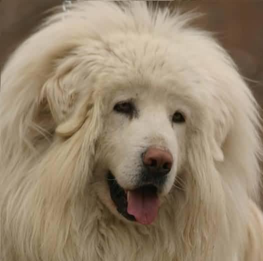 White Tibetan Mastiff / Фотографии собак ...