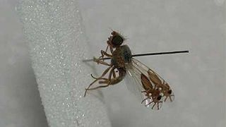 "This is unbelievable, but the fruit fly G tridens has somehow evolved to have what looks like pictures of ants on its wings. Seriously, its transparent wings have an ant design on them complete with ""six legs, two antennae, a head, thorax and tapered abdomen."" It's nature's evolutionary art painted on a fly's wings."