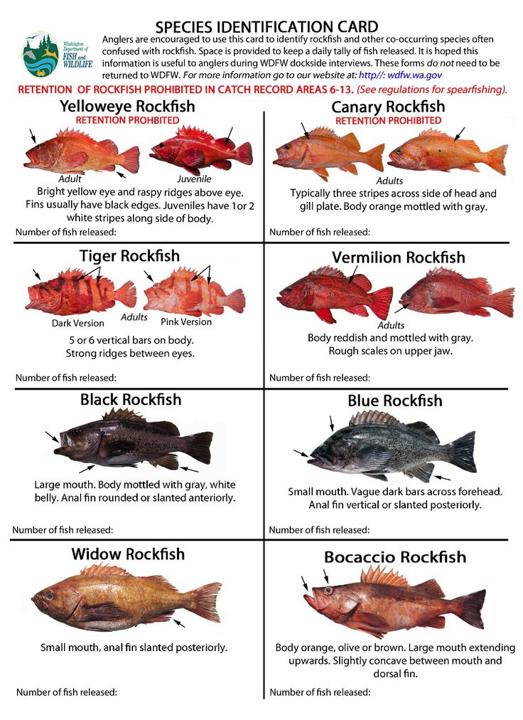 72 best images about rockfish and lingcod on pinterest for Alaska fish species