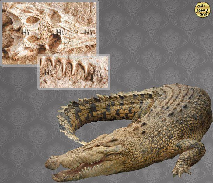 Timsah Kafatasi http://dusuneninsanlaricin.com/30-fosilde-evrim-teorisinin-cokusu/