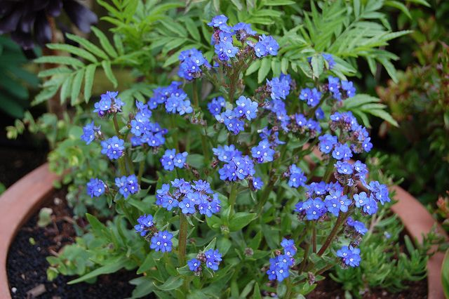 Anchusa capensis 'Blue Angel'  by FarOutFlora, via Flickr