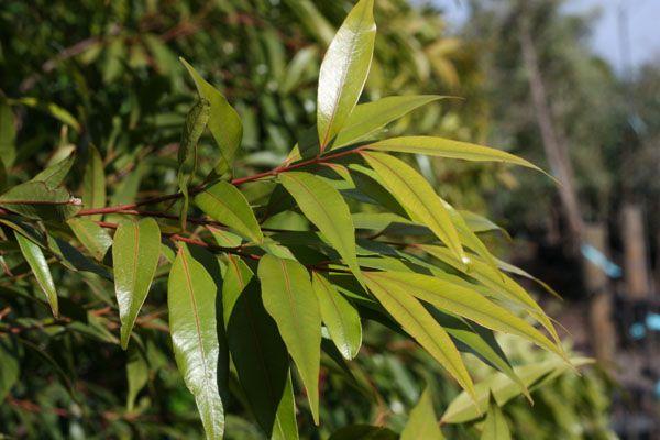 Waterhousia floribunda - WEEPING LILLY PILLY