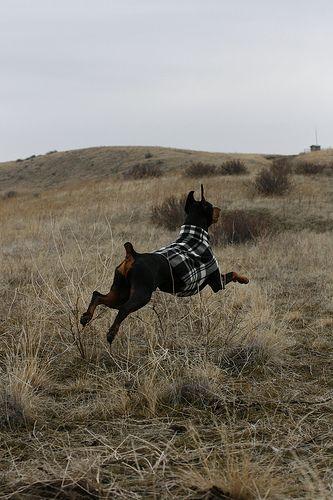 Doberman Pinscher,running like a child  #dobermans