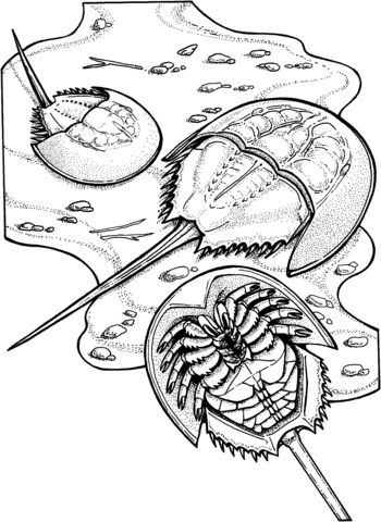 Horseshoe Crabs Coloring page | Horseshoe crab, Coloring ...