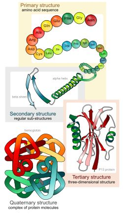 The primary structure refers to amino acid linear sequence of the polypeptide chain. The primary structure is held together by covalent bonds such as peptide bonds. The primary structure of a protein is determined by the gene corresponding to the protein. A specific sequence of nucleotides in DNA is transcribed into mRNA, which is read by the ribosome in a process called translation.