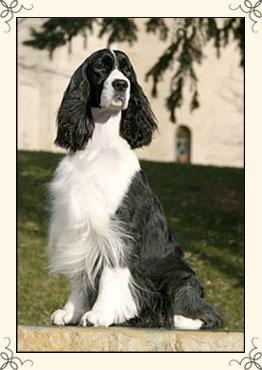 Photo of Leta, English Springer Spaniel by Cymbeline Springers