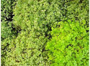 Rostlina | Domácí štěstí, Helxine soleirolii,Soleirolia soleirolii