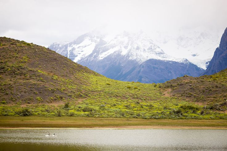 black-necked-swan-laguna-lake-amarga-torres-del-paine