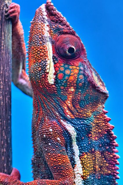 The Panther Chameleon (Furcifer pardalis) lives in the eastern and northern parts of Madagascar in a tropical forest biome.