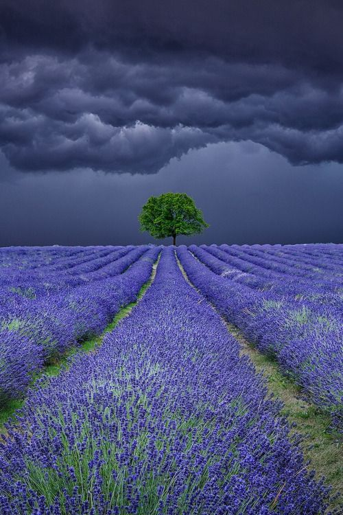 "peaceflavor: "" Lavender Field Storms by Antony Zacharias """