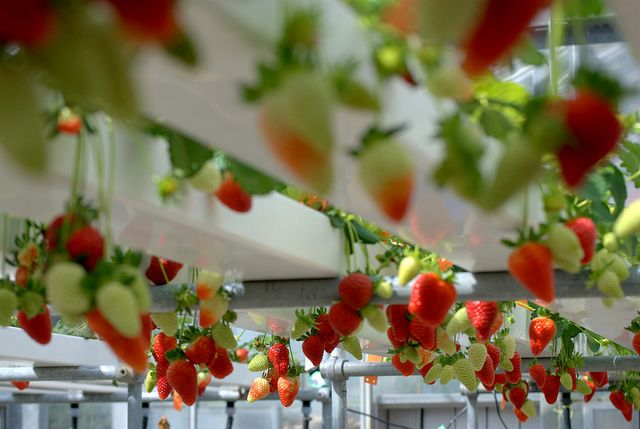 Growing Hydroponic Strawberries tips and how to get started on www.h2ogrowing.com. Growing Hydroponic Strawberries