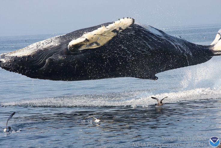 A levitating humpback whale.