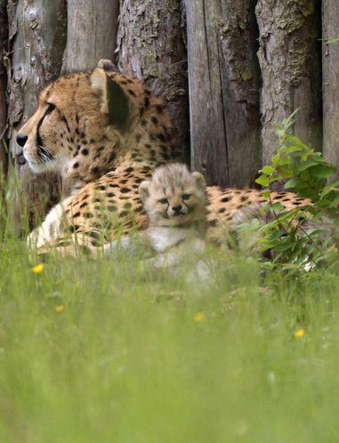 Le zoo d'Erfurt, en Allemagne, a accueilli le 5 mai dernier la naissance de six petits guépards. Les bébés ont été pesés mercredi, sous l'objectif des photographes présents. Au début du mois, les soigneurs du zoo de Münster, en Allemagne, avaient présenté les sept petits guépards nés le 28 avril. Nourris au biberon pour certains, les mini-fauves n'ont pas encore de noms.