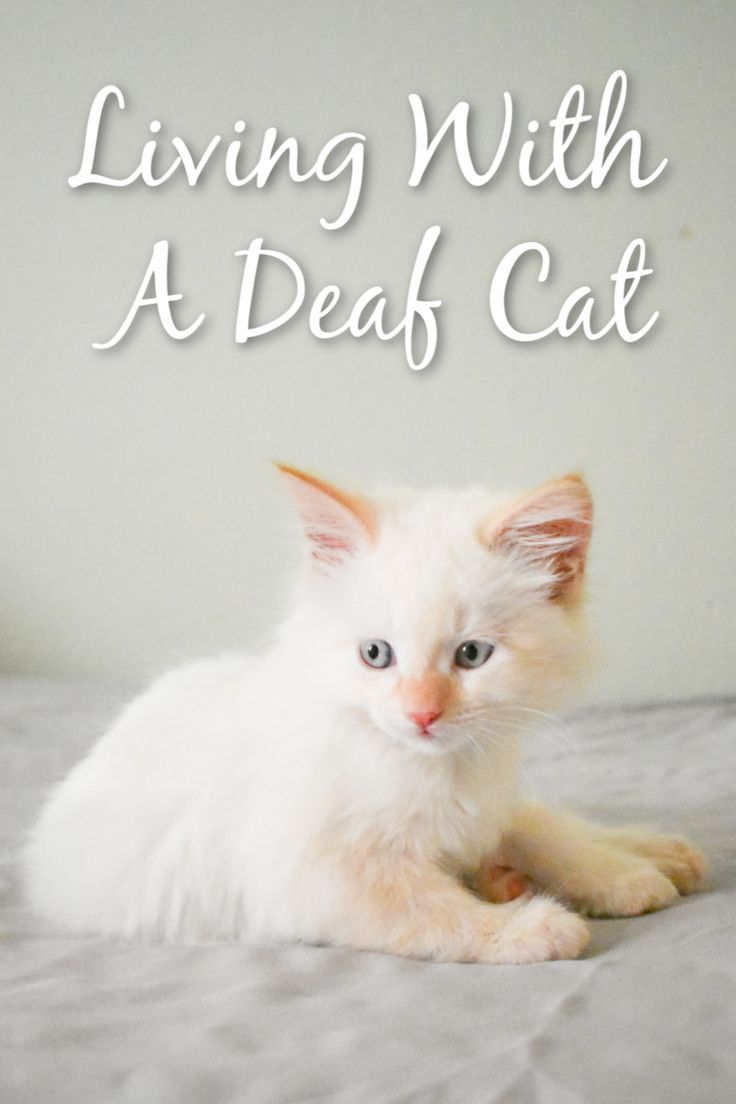 Living With A Deaf Cat In 2020 Cats Cat Behavior Cat Care
