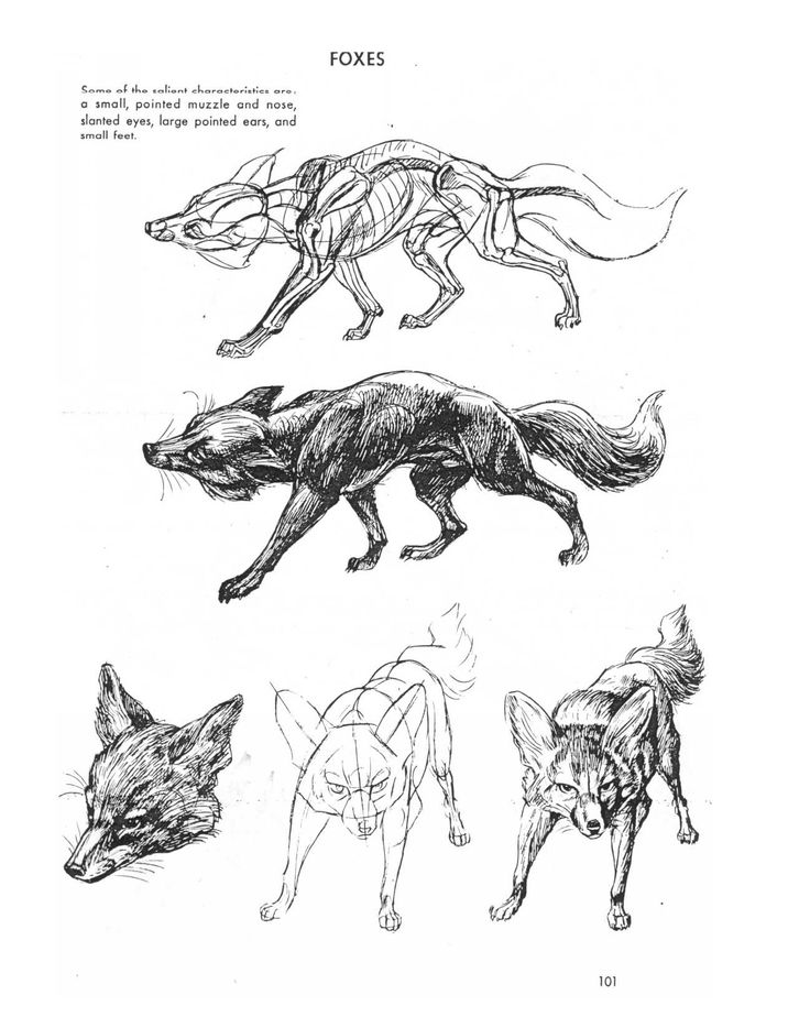 15 best Animal Anatomy images on Pinterest | Draw animals, Animal ...