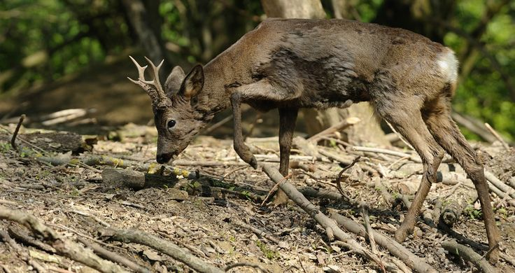 DEER: There are two main types of deer that can be spotted in Tuscany - the Roe Deer and the Fallow Deer. Both are majestic creautures