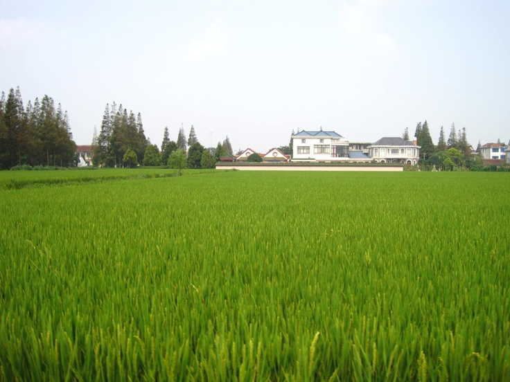 Beautiful organic rice fields of the Good Earth Project!