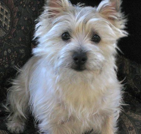 1884 best images about cairn terriers on pinterest for Fluffy little dog breeds